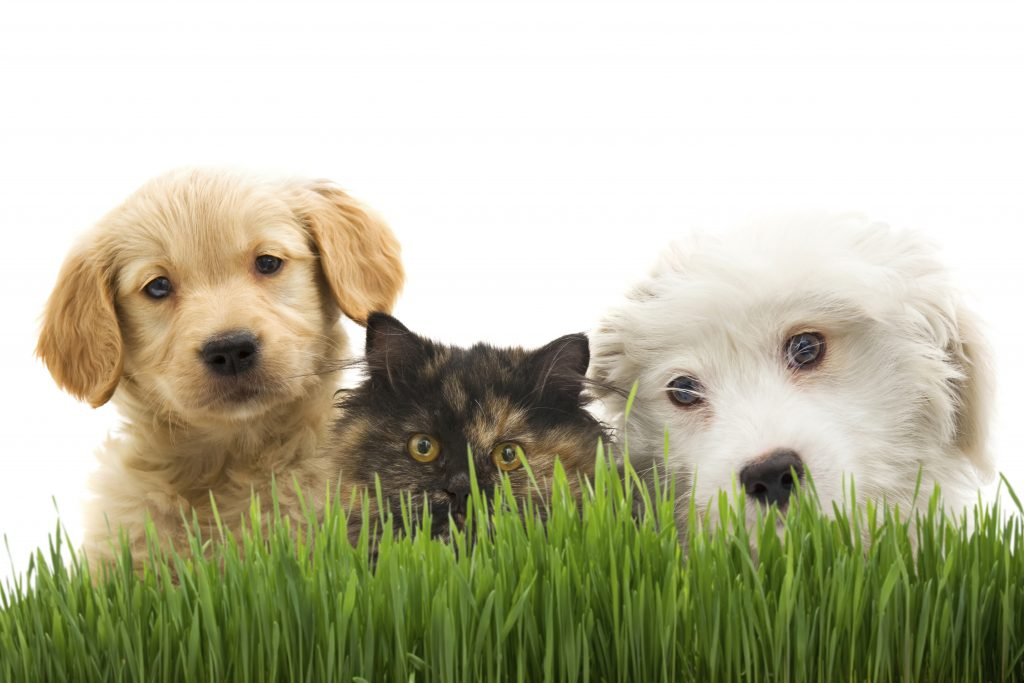 Two dogs and a cat with grass and white background