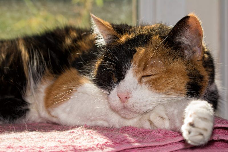 antiinflammatory for cats