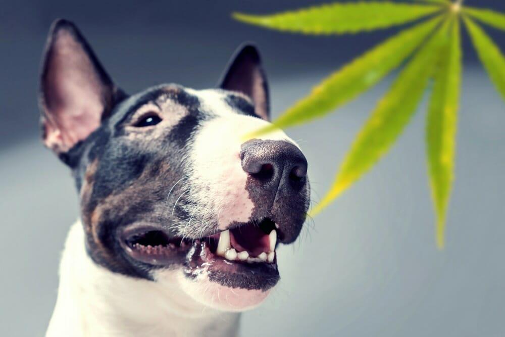Dog next to cannabis leaf