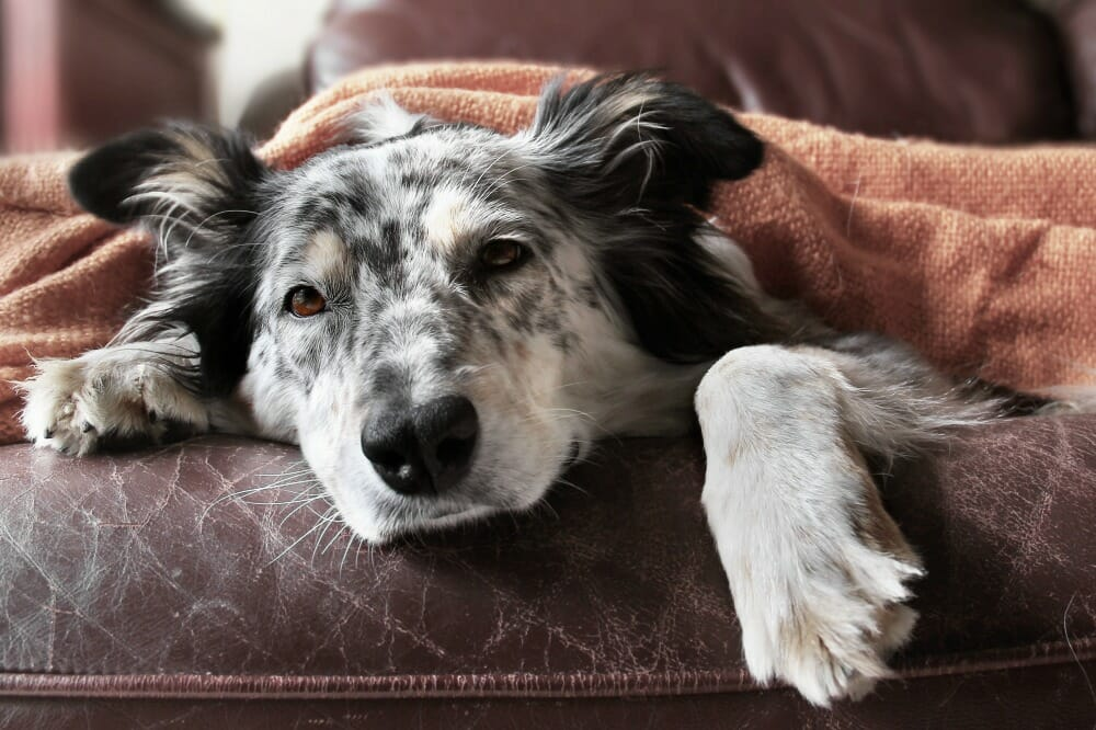 Dog lying on the couch under a blanket